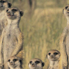 All For One – The Meerkat Way